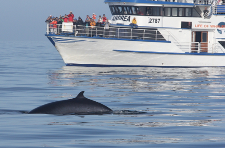 A Minke whale surfaces close to a whale watching vessel.  Flaxafloi Bay, Iceland.