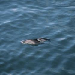 Thames harbour porpoise survey – Internship
