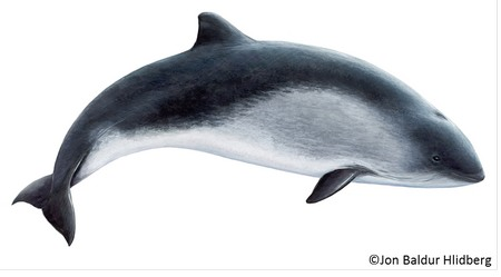 Porpoise Drawing_sm