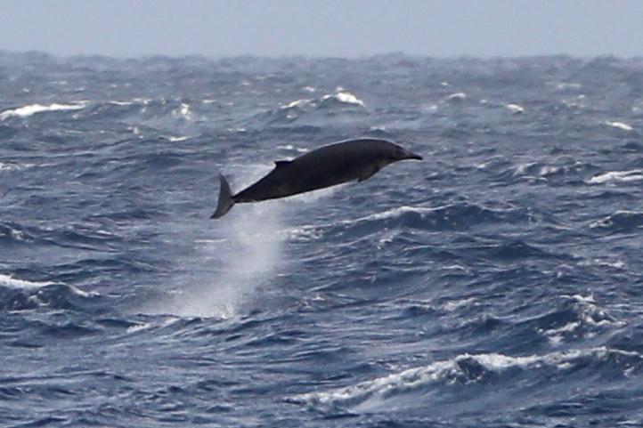 Beaked_whale_credit_Ash_Bennison